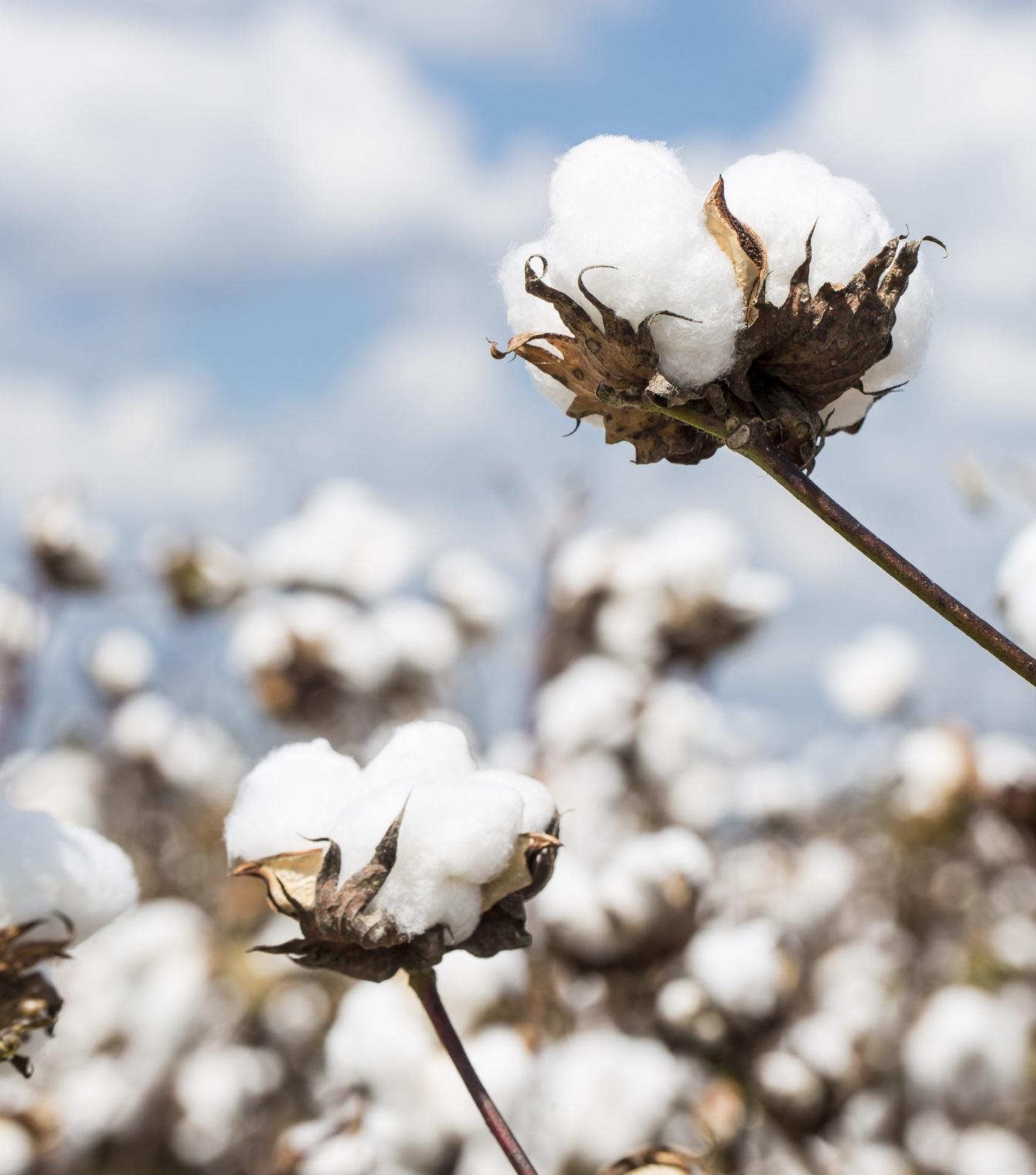 Cotton plant in a Louisiana field